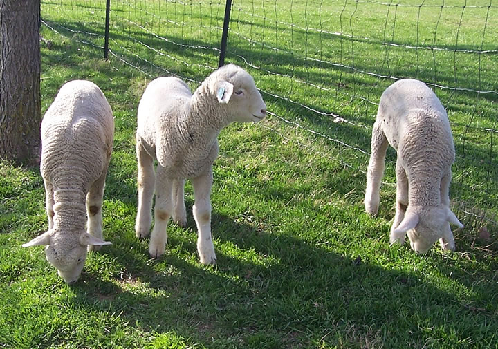 3 Columbia Spring lambs from Raspberry Meadows Farm.
